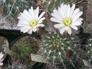 Acanthocalycium Klimpenianum flori albe