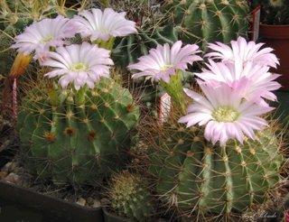 Acantocalicium cu flori mov