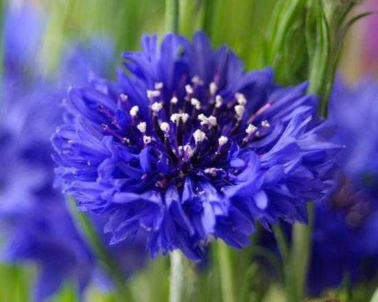 Albastrelele - plantele din gradina cu proprietati medicinale