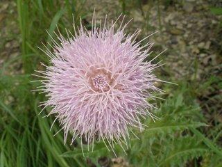 Centaurea americana Nutt culoare roz