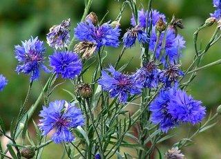Centaurea cyanus albastrele de gradina