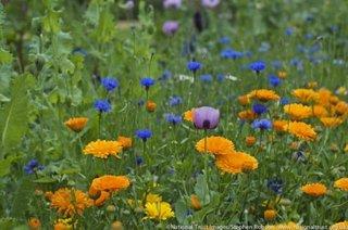 Schema de plantare flori de gradina cu albastrele