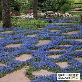 Flori mici albastre combinate cu lespezi de piatra