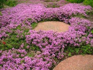Flori mici mov si dale de piatra