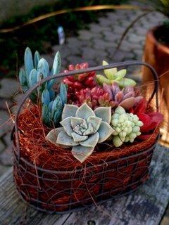 Plante suculente multicolore