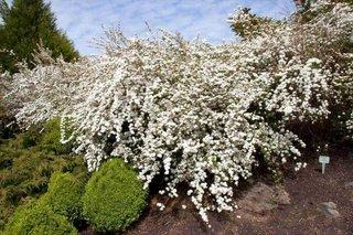 Arbust cu flori albe cununita sau spiraea prunifolia