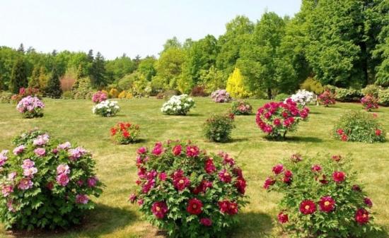 Arbusti decorativi cu flori pentru gradinile insorite
