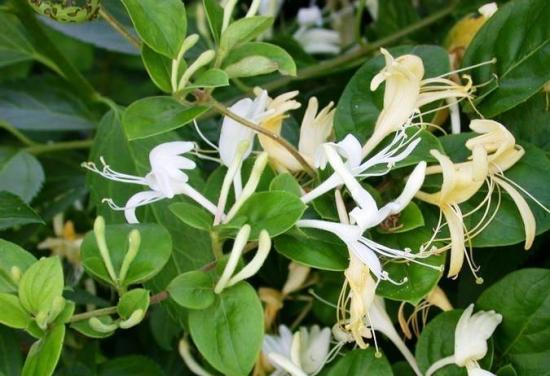Caprifoi sau mana maicii domnului cu flori albe