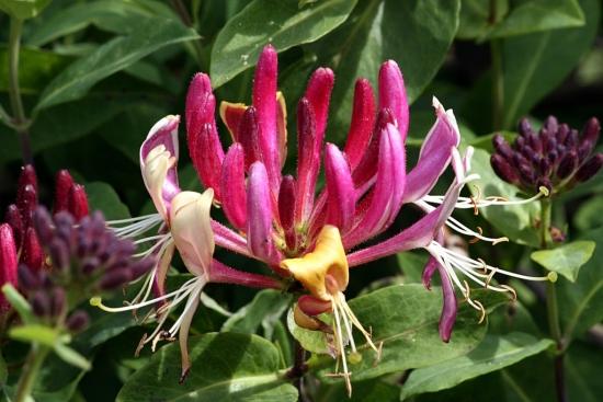 Lonicera caprifolium cu flori roz