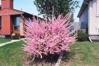 Prun chinezesc arbust ornamental cu flori roz