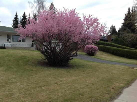 Prunus triloba ajuns la maturitate