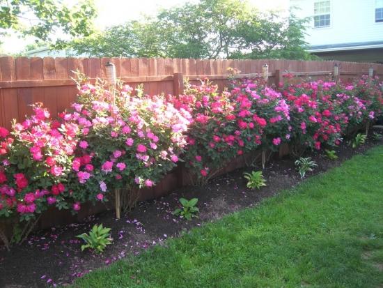 Arbusti decorativi pentru gradini umbroase