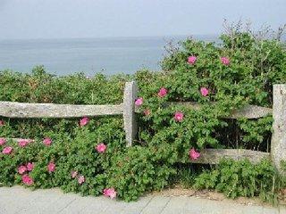 Rosa rugosa camelie