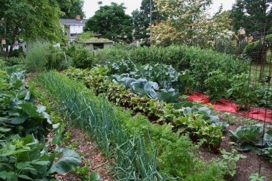 Cum asezam legumele in gradina. Care sunt prietene si care nu se suporta unele cu altele ...
