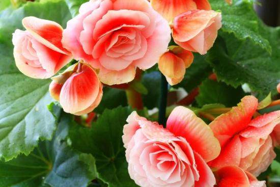 Floare de begonie portocalie