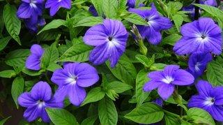 Browallia cu flori albastre mov