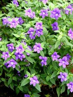 Floare de amestist brovalia mov
