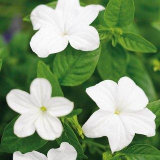 Flori albe de brovalia