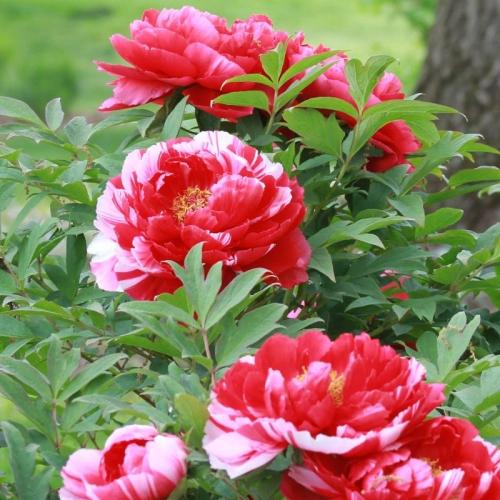 bujor cu floare rosie cu dungi albe