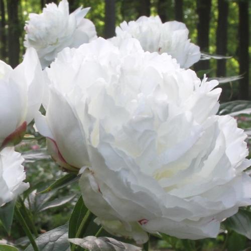 Bujori cu floare alba