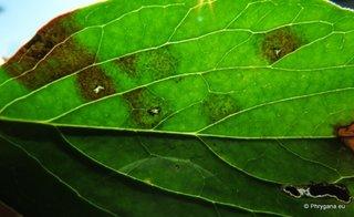 Rugina pe frunza de bujor
