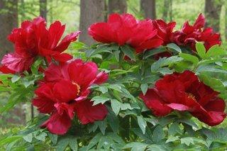 Tufa de bujori cu flori rosu inchis