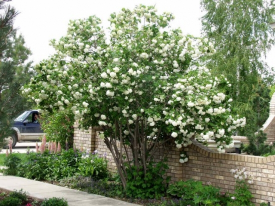 Bulgarele de zapada, Calinul - Viburnum Opulus - ingrijire si inmultire