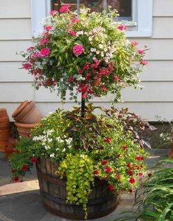 Pomisor plantat in butoi din lemn