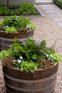 Salata plantata in butoaie vechi de lemn
