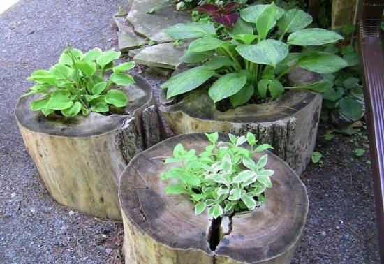 Crini plantati in buturugi