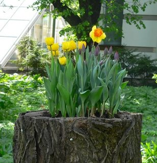 Idee originala pentru plantarea narciselor si a lalelor in curte