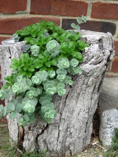 Plante suculente cultivate in gradina