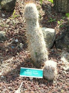 Cactus Batranul muntilor espostoa lanata