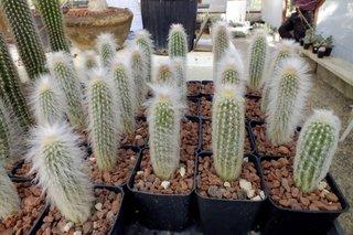 Espostoa lanata - cactus lanos