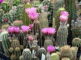 Cactus Echinocereus spp