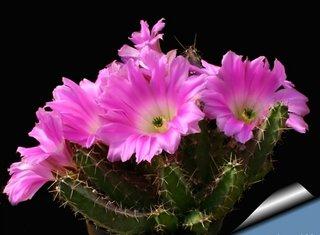 Cactus echinocereus pentalopus