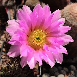 Floare de lumanare arici Echinocereus