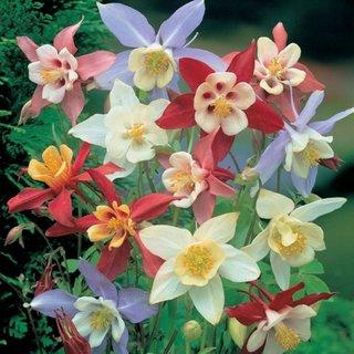Caldaruse Aquilegia plante de gradina frumos colorate