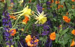 Columbine caldaruse galbene alaturi de flori de gradina