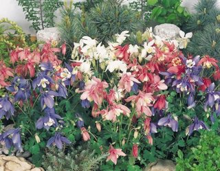 Flori de Boneta bunicii roz si mov in gradina