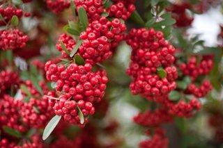 Fructe rosii de Pyracantha