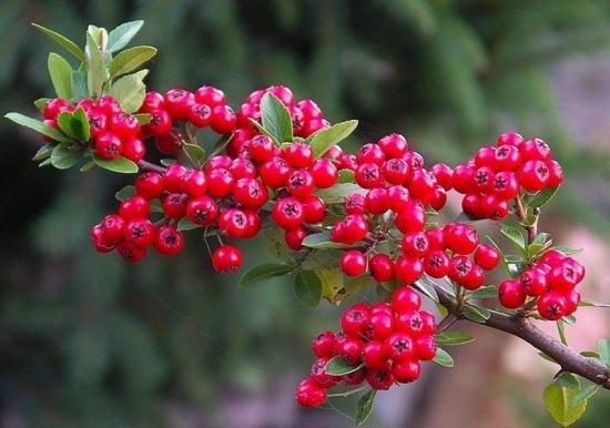 Catina rosie- Pyracantha coccinea - tot ce trebuie sa stii despre plantare, ingrijire, inmultire, boli si daunatori