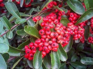 Pyracantha coccinea fructe de catina rosie prim plan