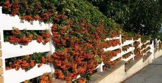 Catina excelent arbust fructifer pentru gardul viu