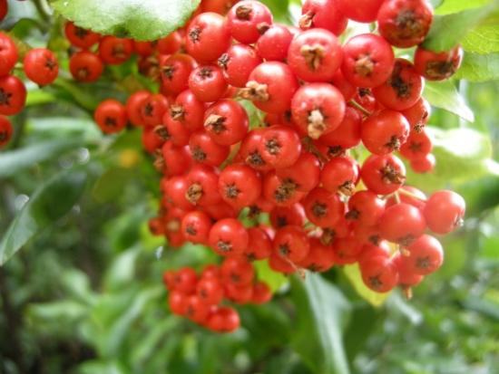 Fructe de catina pyracantha coccinea
