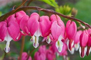 Cerceii doamnei roz ingrijire iarna