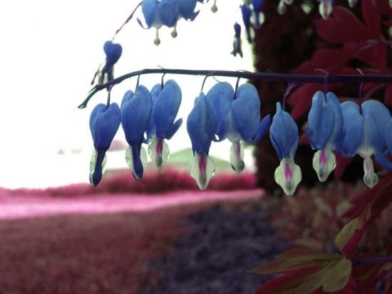 Floare cerceii doamnei culoare albastra