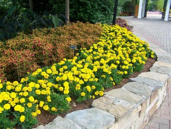 Bordura de flori cu Tagetes Aurora galbene