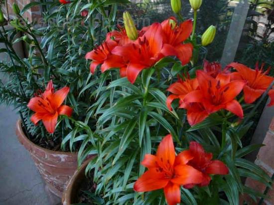 Crin asiatic Gran Paradiso - portocaliu