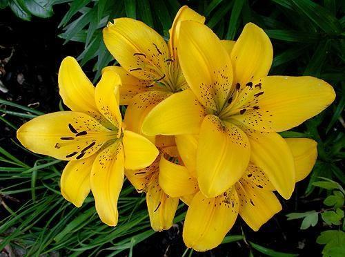 Crin imperial cu flori galbene